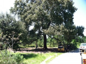 Leeward Oak at Baseline Road Trailhead